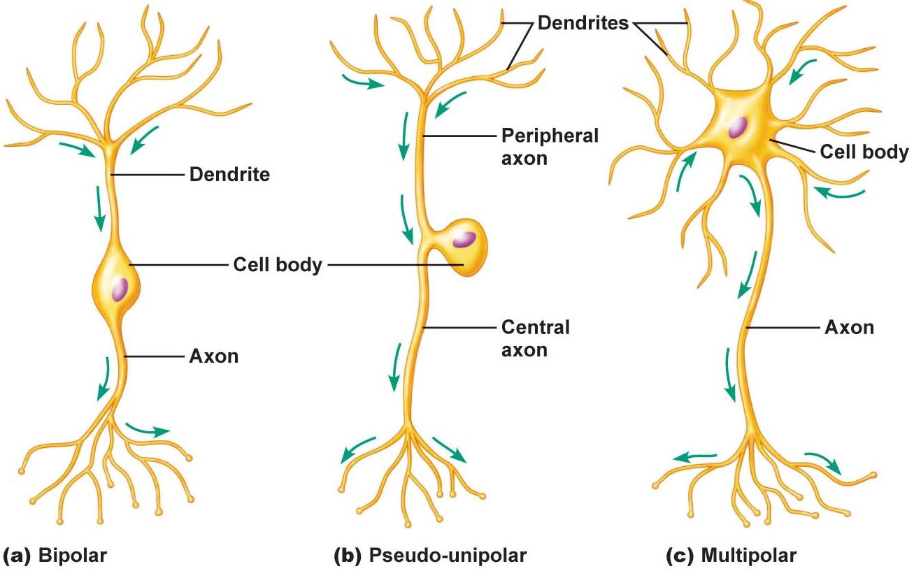 Group 4 brain histology btt sose 2017 tum wiki types of neurons by structure ccuart Images